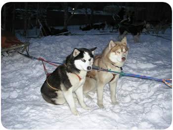 Тур на собачьих упряжках